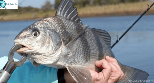 How to Catch Red Drum Fish